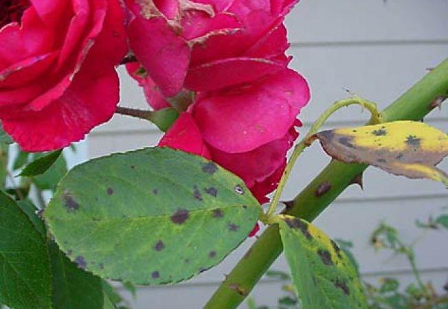 boli trandafiri
