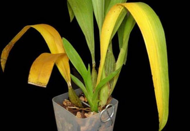 plante bolnave