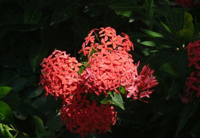 Garoafa junglei