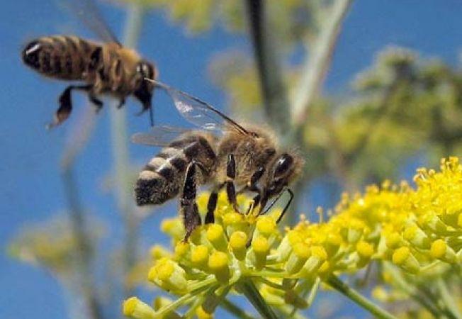 Albinele pot fi pesimiste