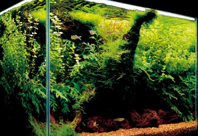 Plantele de acvariu pentru incepatori
