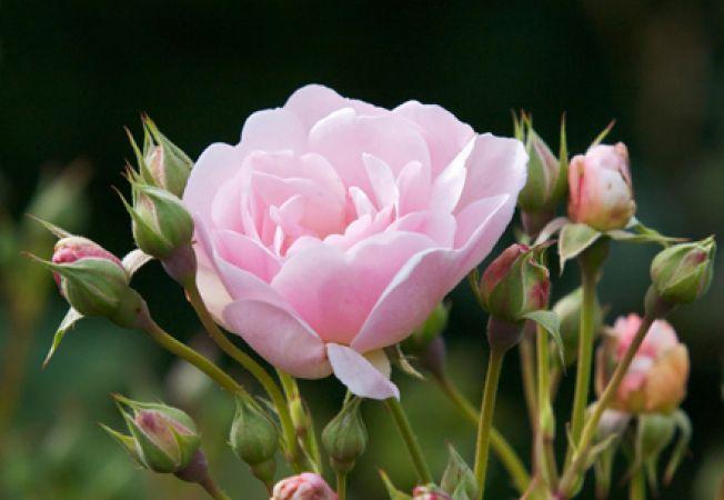 Transplantarea trandafirilor