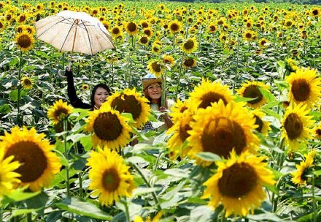 Floarea-soarelui, cultivata pentru decontaminarea solului de radiatii