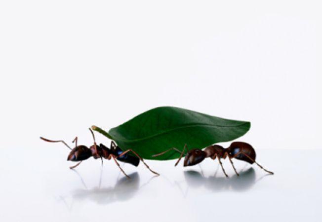 Insecticide naturale pentru furnici