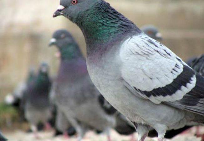 Porumbeii recunosc fetele umane