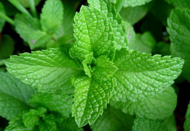 Cum sa recoltezi plantele aromatice din gradina