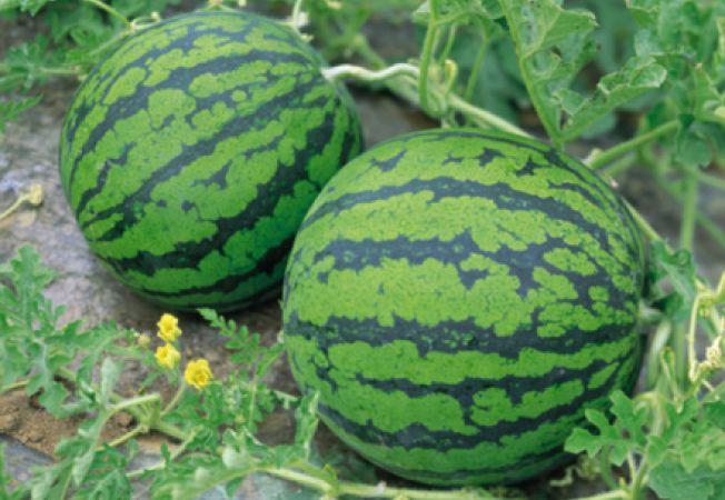 Cum sa cultivi pepeni verzi