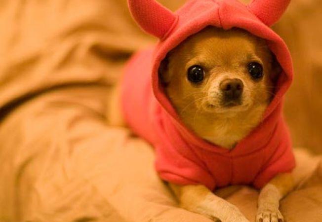 Povesti cu si despre Chihuahua