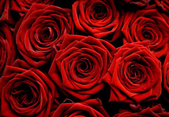 Bolile si daunatorii trandafirilor de gradina