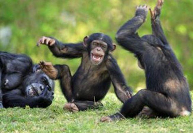 Cimpanzeii pot fi altruisti, la fel ca oamenii