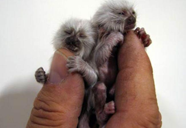 Doi pui de marmosete s-au nascut la Zoo Bucuresti