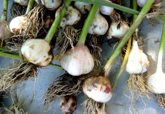 Usturoiul, pesticid natural pentru gradina ta