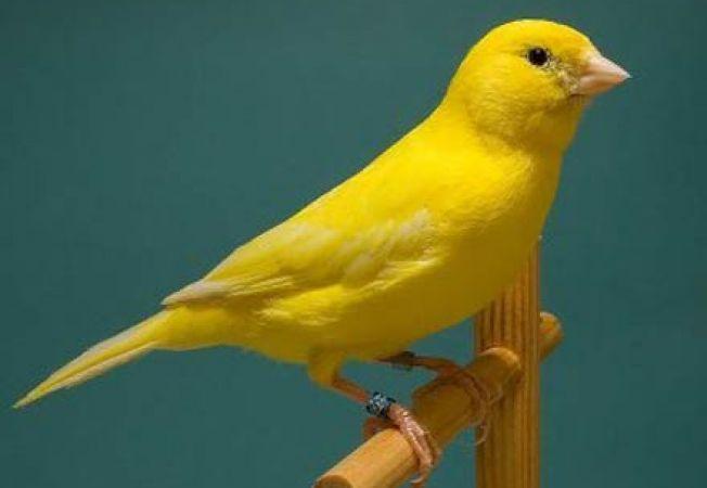 Sfaturi pentru hranirea canarilor