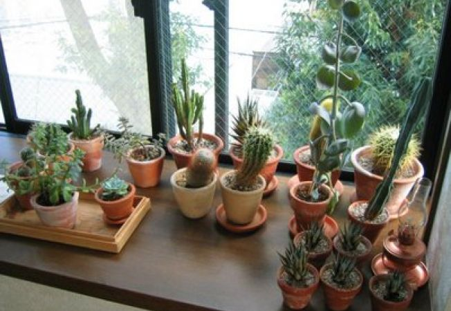 Cactusul: ingrijire si inmultire