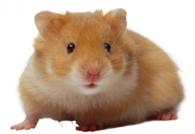 Ingrijirea hamsterilor