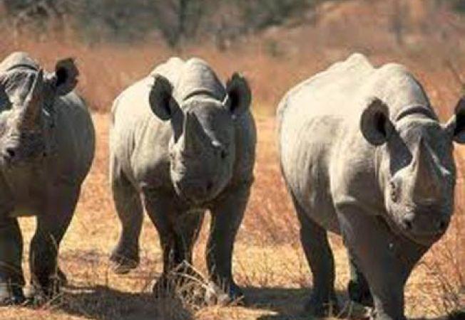 Coarnelor tuturor rinocerilor din Africa ar putea fi taiate