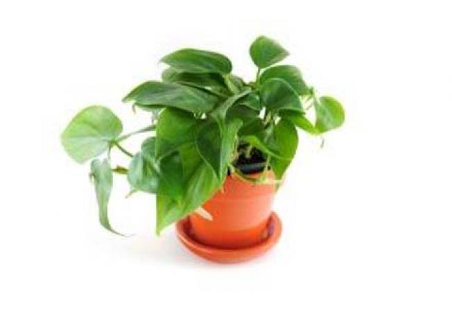 Plante care reduc poluarea