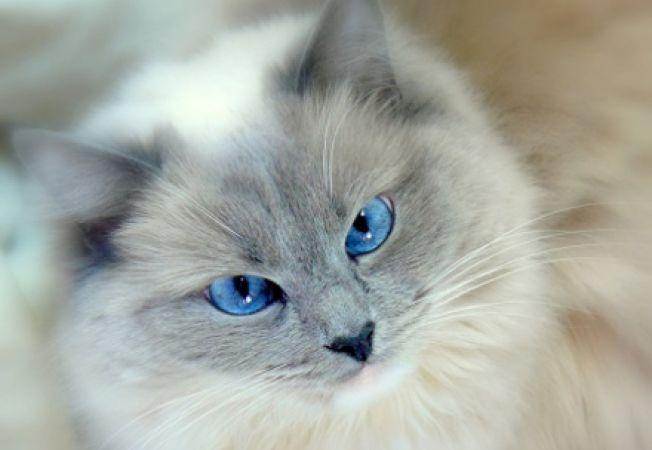Caracteristicile pisicii Ragdoll