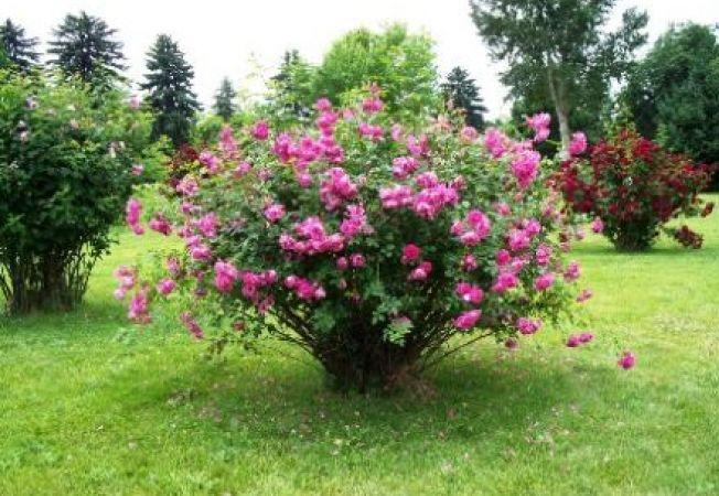 Top 7 ponturi pentru a creste trandafiri