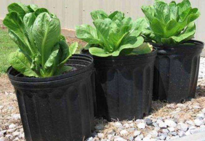 Cum sa cultivi legume in spatii restranse