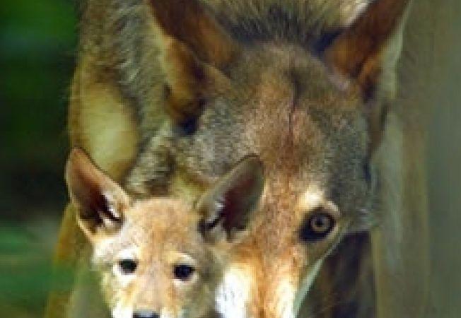 10 specii pe cale de disparitie partea a III a