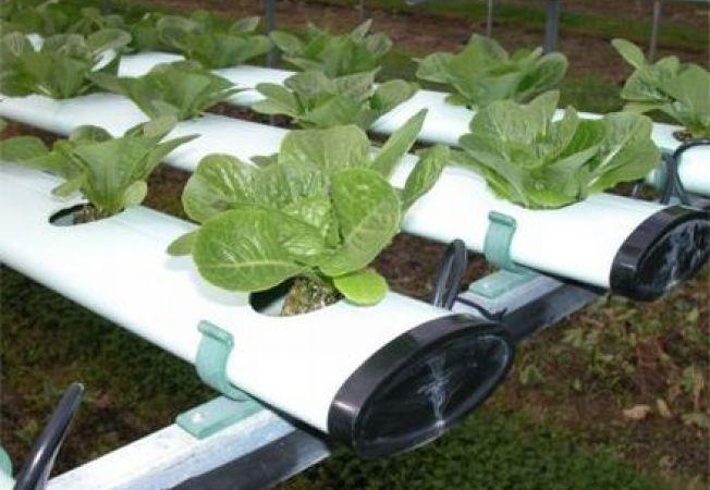 Cum sa cultivi legume fara pamant