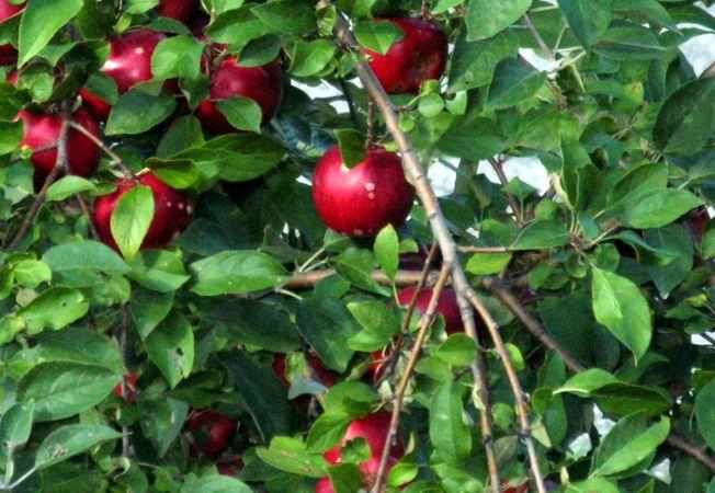 De ce nu fac fructe pomii fructiferi?