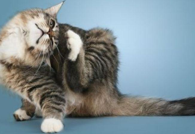 Afectiuni ale urechilor pisicii