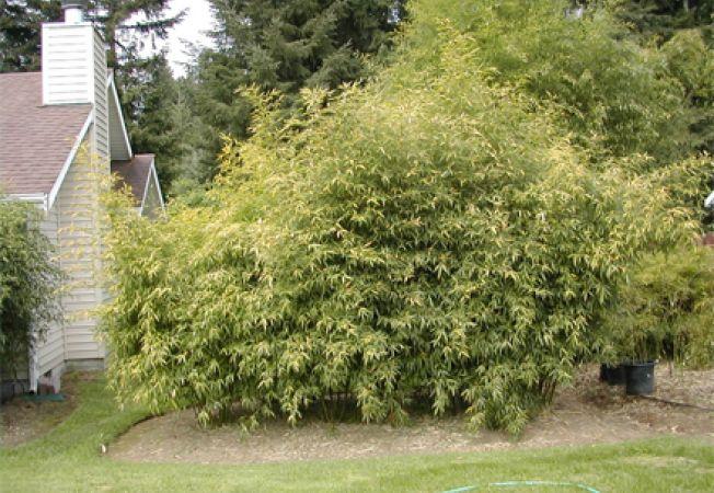 De ce sa nu plantezi bambus in gradina