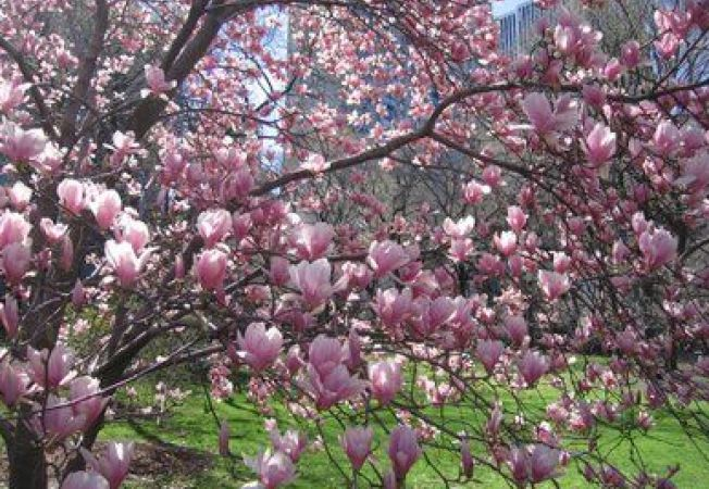 Magnolia, puritate si parfum