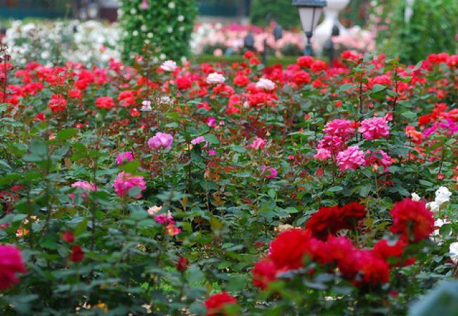 Cum sa ai cea mai frumoasa gradina de trandafiri