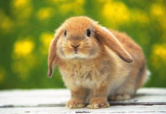 De ce sunt iepurii fricosi?