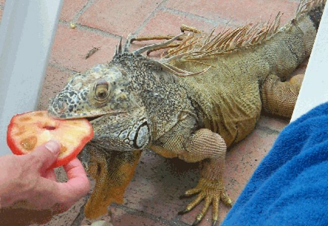 Alimentatia corecta a iguanei