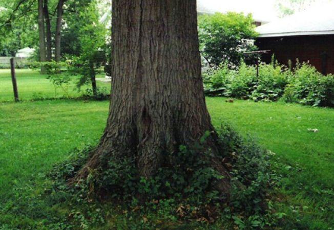 Greseli majore in ingrijirea copacilor