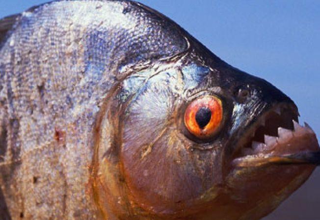 Pestii Piranha, intre legenda si adevar