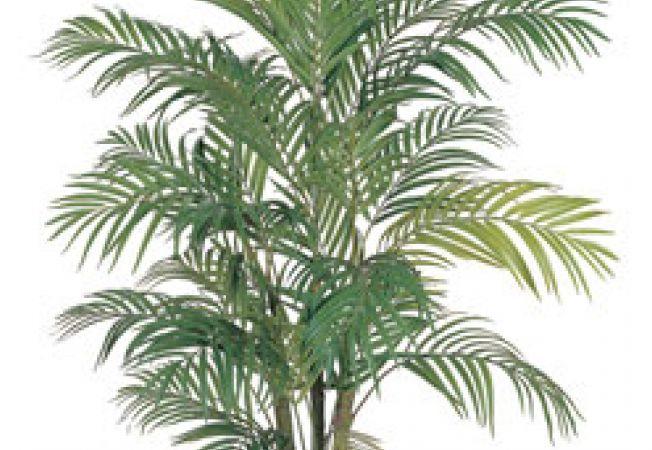 Palmierul, o eleganta planta de apartament