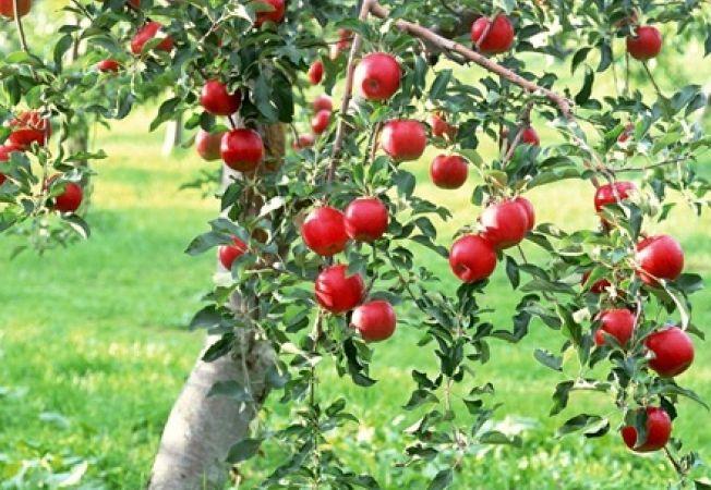Pomi fructiferi foarte usor de ingrijit