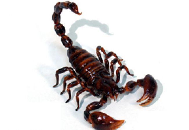 ingrijirea scorpionului
