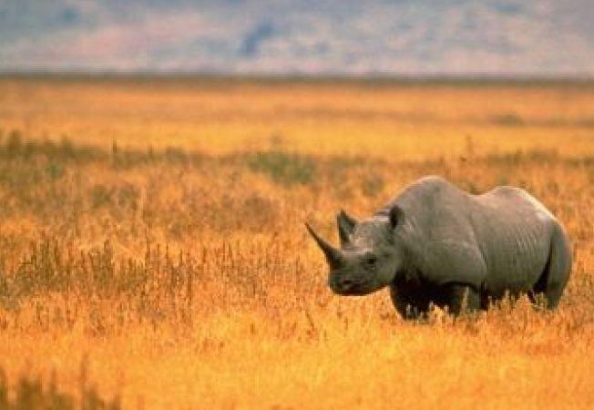 Rinocerii, ucisi pentru medicamente chinezesti