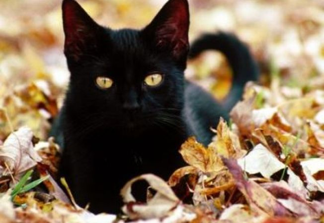 """Ce este efectul """"pisicii negre""""?"""