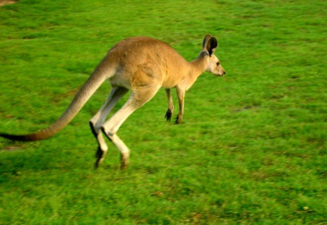 16 curiozitati despre canguri