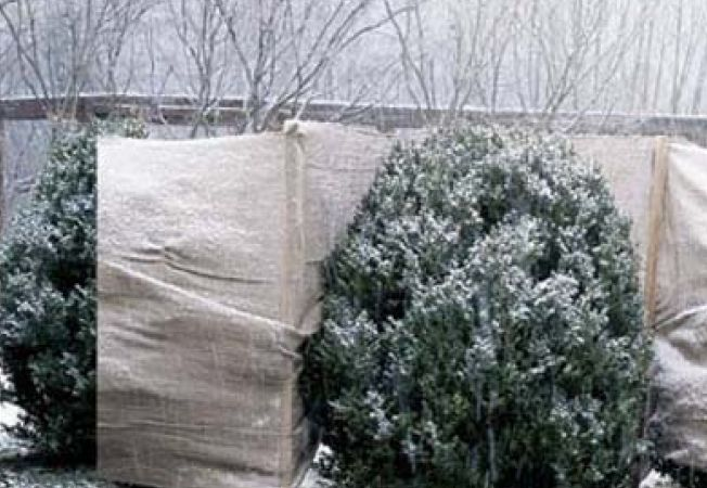 Cum sa ai grija de gardul viu iarna