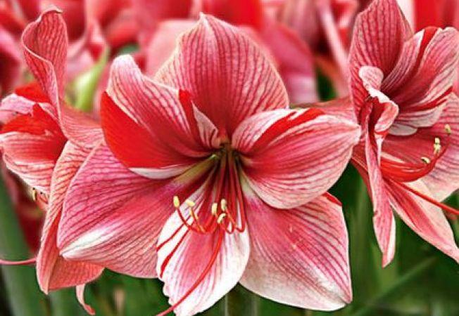 Specii superbe de Amaryllis pentru casa ta