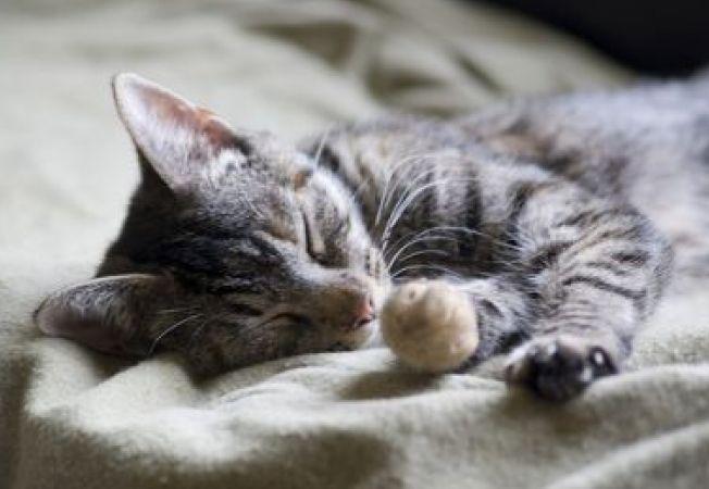 Dirofilaria, parazitul care poate fi fatal pisicilor
