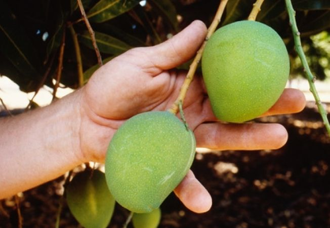 Cum sa cresti un mango