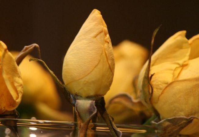De ce nu se deschid bobocii de trandafir