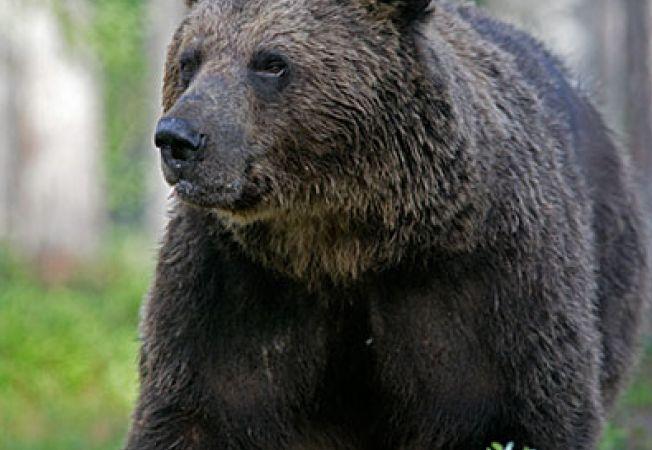 6 lucruri inedite despre ursi