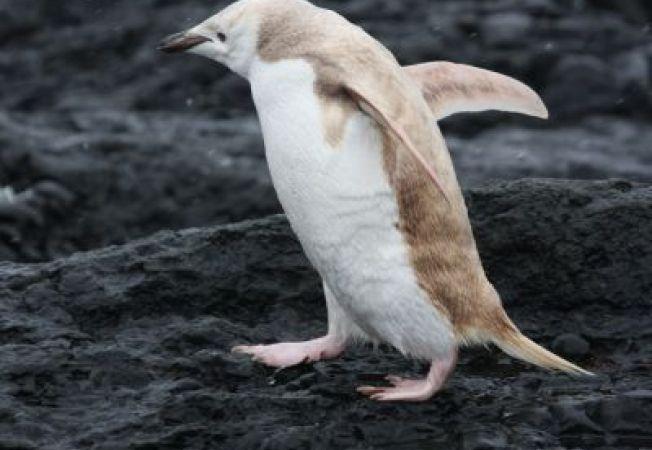 Caz rar in Antarctica: Pignuin cu penele albe