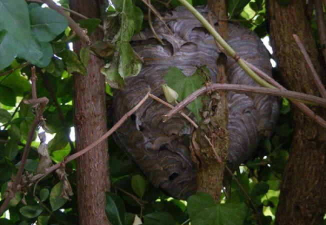 Cum sa scapi de un cuib de viespi