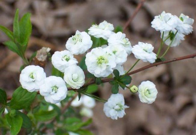 Cei mai frumosi arbusti care infloresc primavara